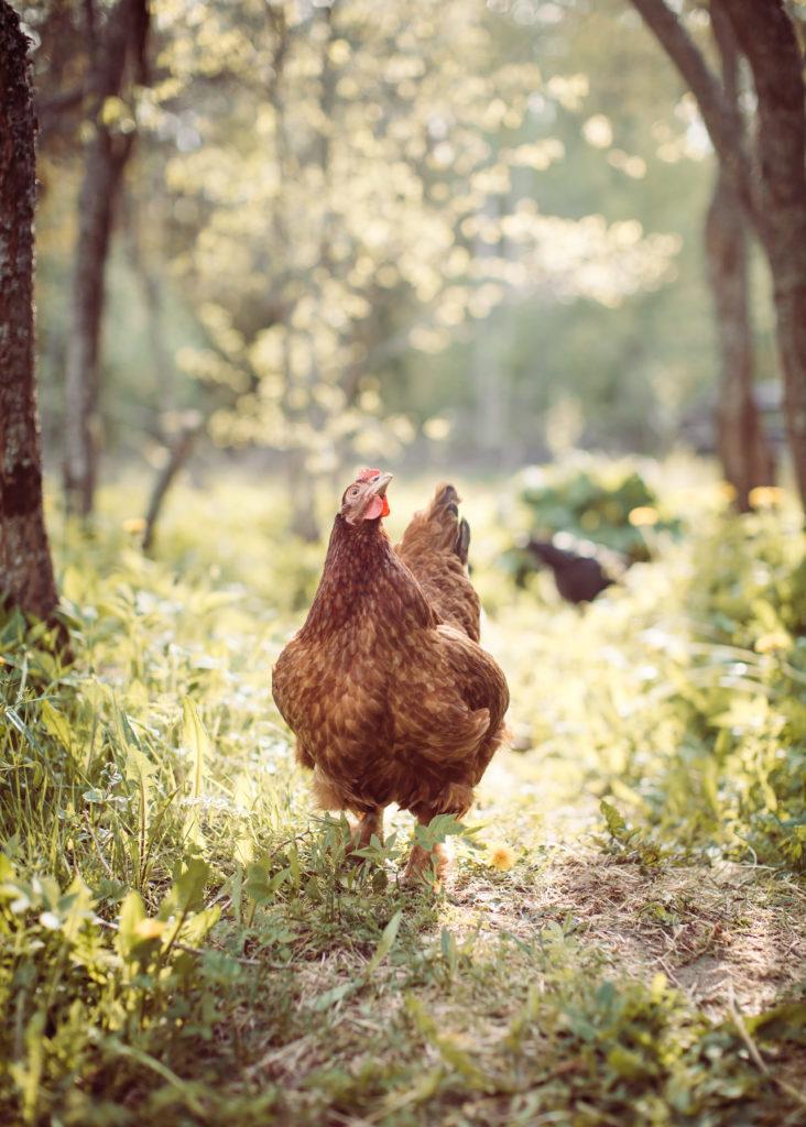 Kana kesäkana