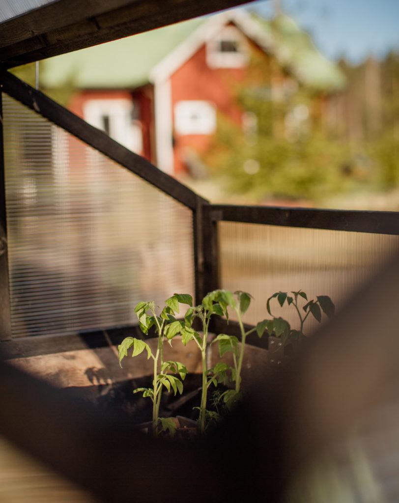 Tomaatit minikasvihuoneessa Torpan Tyttö