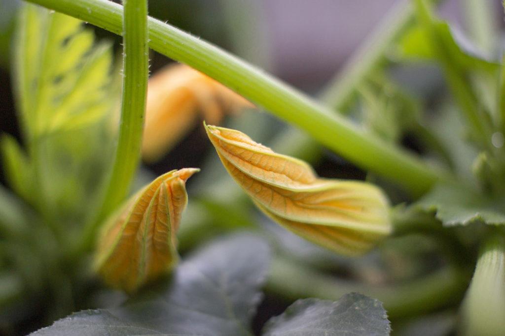 Kesäkurpitsan kukka